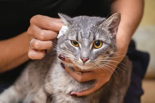 Mulher limpa as orelhas de um gato cinza de olhos amarelos.